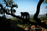 Monkeying around in Hartbeespoort